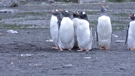 Southern-giant-petrel-watching-gentoo-penguin-chicks-at-Gold-Harbor-on-South-Georgia-