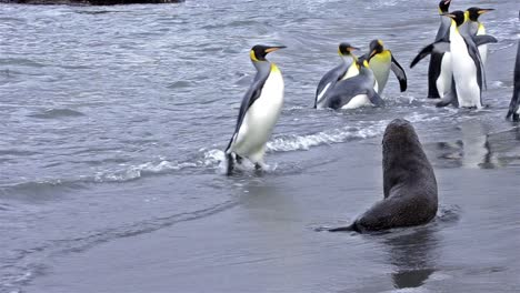King-penguin-rookery-exiting-the-surf-and-Antarctic-fur-seals-on-the-beach-at-Gold-Harbor-on-South-Georgia-