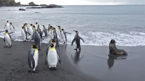 King-penguins-exiting-the-surf-and-an-Antarctic-fur-seals-at-Gold-Harbor-on-South-Georgia-