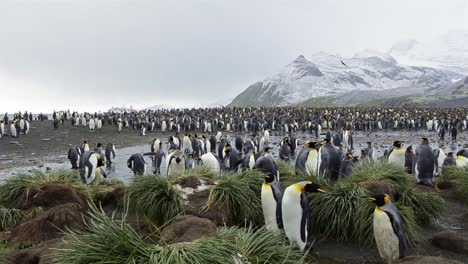 Panning-motion-of-a-King-penguin-rookery-at-Gold-Harbour-on-South-Georgia-