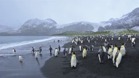 Panning-motion-of-King-penguins-exiting-the-surf-and-Antarctic-fur-seals-at-Gold-Harbor-on-South-Georgia-