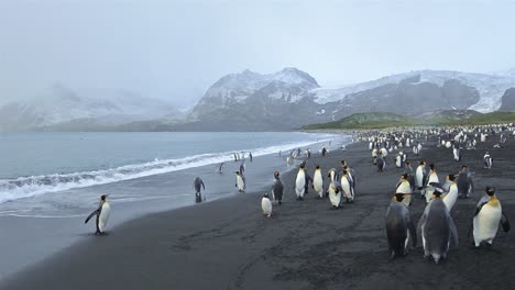 Panning-motion-of-King-penguins-exiting-the-surf-and-Antarctic-fur-seals-at-Gold-Harbor-on-South-Georgia-1