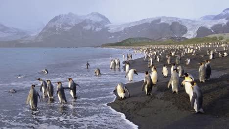 Pingüinos-Rey-Entrando-En-Las-Olas-En-Gold-Harbor-En-El-Sur-De-Georgia
