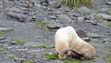 Rare-leucistic-Antarctic-fur-seal-pup-at-Cooper-Bay-on-South-Georgia