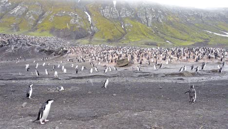 Panning-of-Chinstrap-penguin-rookery-at-Baily-Head-on-Deception-Island-in-Antarctica-
