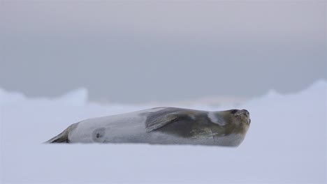Ross-Seal-on-sea-ice-in-Lallemand-Fjord-on-the-Antarctic-Peninsula-in-Antarctica