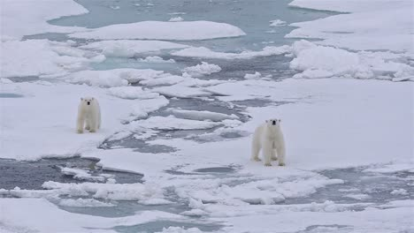 Polar-bear-sow-with-two-cubs-on-the-sea-ice-in-off-Baffin-Island-in-Nunavut-Canada
