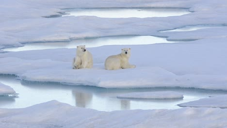Two-polar-bear-cubs-sleeping-on-the-sea-ice-off-Baffin-Island-in-Nunavut-Canada-