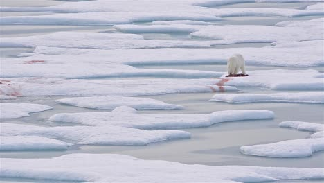 Polar-bear-on-sea-ice-with-a-seal-kill-in-Norwegian-Bay-on-the-Bjorne-Peninsula-on-Ellesmere-Island-on-Nunavut-Canada-