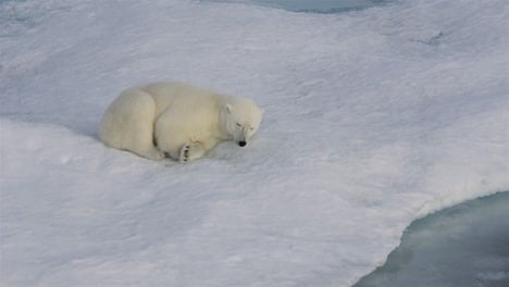 A-polar-bear-cub-sleeping-on-the-sea-ice-off-Baffin-Island-in-Nunavut-Canada-