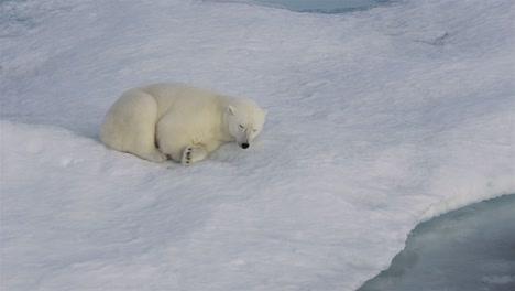Ein-Eisbärjunges-Das-Auf-Dem-Meereis-Vor-Der-Baffininsel-In-Nunavut-Kanada-Schläft
