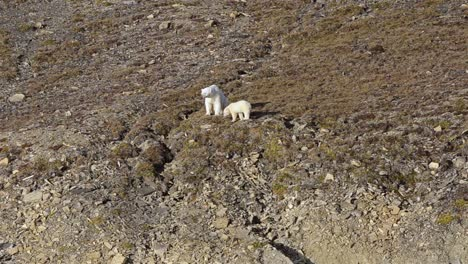 Polar-bear-sow-and-cub-stranded-on-land-in-Croker-Bay-on-Devon-Island-at-Nunavut-Canada