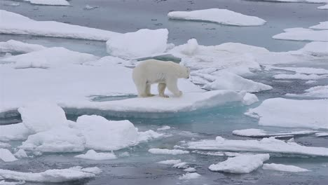 Polar-bear-sow-and-cub-on-the-sea-ice-in-Polar-Bear-Pass-north-off-Baffin-Island-in-Nunavut-Canada-