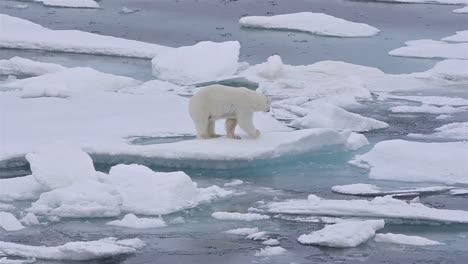 Eisbär-Sau-Und-Jungtier-Auf-Dem-Meereis-Im-Eisbärenpass-Nördlich-Der-Baffininsel-In-Nunavut-Kanada-Can