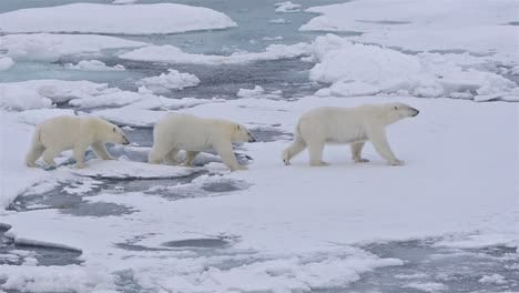 Polar-bear-sow-and-two-cubs-walking-on-the-sea-ice-in-Polar-Bear-Pass-north-off-Baffin-Island-in-Nunavut-Canada-