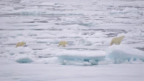 Siembre-Y-Cachorros-De-Oso-Polar-De-Primer-Año-En-El-Hielo-Marino-En-El-Estrecho-De-Barrow-Justo-Al-Sur-De-La-Isla-De-Cornwallis-En-Nunavut-Canadá