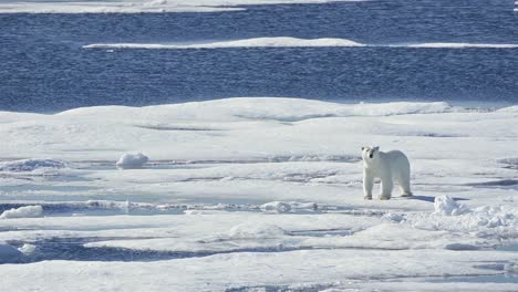 Oso-Polar-De-Pie-Sobre-El-Hielo-Marino-En-Prince-Regent-Inlet-Cerca-De-La-Isla-De-Baffin-En-Nunavut-Canadá