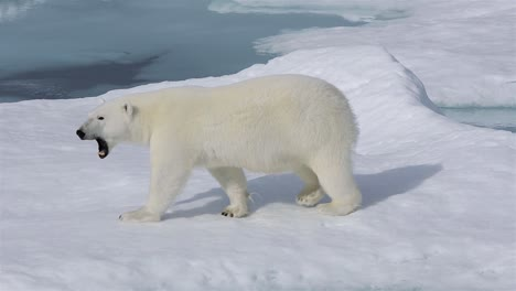 Close-up-of-a-polar-bear-walking-on-sea-ice-in-Prince-Regent-Inlet-near-Baffin-Island-in-Nunavut-Canada