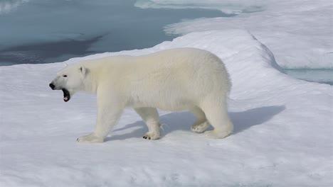 Nahaufnahme-Eines-Eisbären-Zu-Fuß-Auf-Dem-Meereis-In-Prince-Regent-Inlet-In-Der-Nähe-Von-Baffin-Island-In-Nunavut-Kanada-