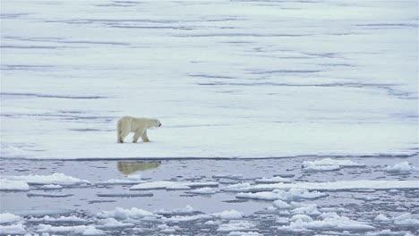 Reflexión-Del-Oso-Polar-Sobre-El-Hielo-Marino-En-Bjornsundet-En-Spitsbergen-En-El-Archipiélago-De-Svalbard-Noruega