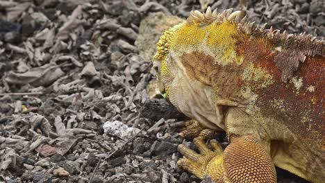 Galapagos-land-iguana-eating-a-cactus-at-the-Darwin-Center-on-Santa-Cruz-Island-in-the-Galapagos-Ecuador-