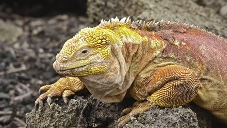 Galapagos-land-iguana-staring-at-camera-at-the-Darwin-Center-on-Santa-Cruz-Island-in-the-Galapagos-Ecuador-