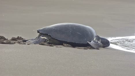 Green-sea-turtle-returning-to-the-ocean-at-Playa-Espumilla-on-Santiago-Island-in-the-Galapagos-Islands-National-Park-and-Marine-Reserve-Ecuador
