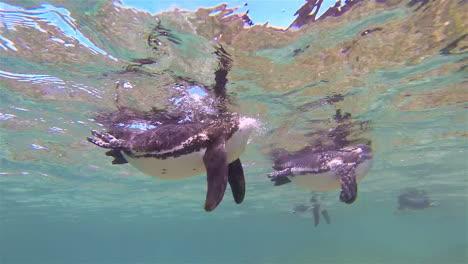 Galapagos-penguins-swim-underwater