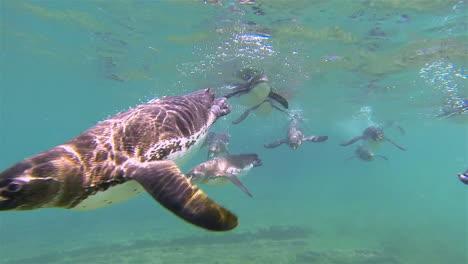 Galapagos-penguins-swim-towards-the-camera-underwater