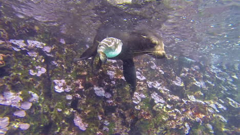 A-sea-lion-and-a-pufferfish-play-together-underwater-in-this-interspecies-shot-in-the-Galapagos-Islands