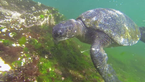 Beautiful-underwater-footage-of-a-sea-turtle-swimming-in-the-Galapagos-Islands-Ecuador