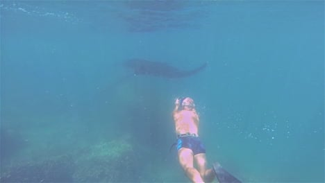 A-diver-swims-alongside-a-huge-manta-ray-underwater
