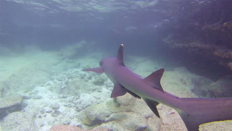 Very-good-footage-of-a-white-tipped-reef-shark-swimming-underwater
