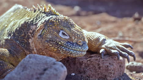 Extreme-close-up-of-a-land-iguana-giant-lizard-on-the-Galapagos-Islands