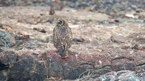 A-Galapagos-owl-turns-its-head-360-degress-around-in-a-circle