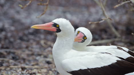A-pair-of-Nazca-boobie-birds-engage-in-a-courtship-mating-ritual-dance