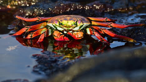 Bright-red-Sally-Lightfoot-crab-near-the-shore-in-the-Galapagos-Islands