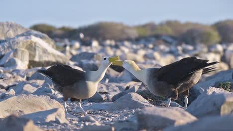 Hermosa-Foto-De-Albatros-Ondeando-Cortejando-En-Un-Ritual-De-Apareamiento-En-Las-Islas-Galápagos