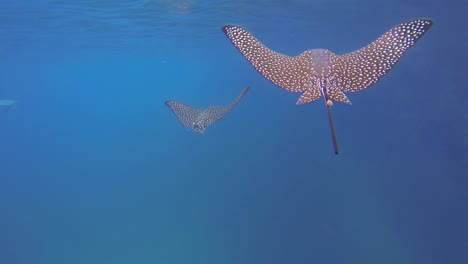 Two-beautiful-rays-swim-underwater-in-the-Galapagos-Islands