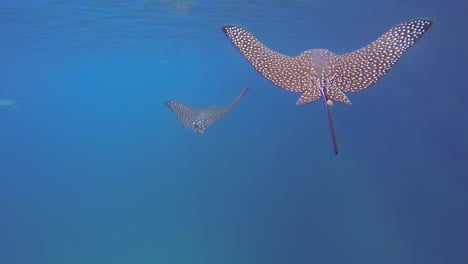Two-beautiful-rays-swim-underwater-in-the-Galapagos-Islands