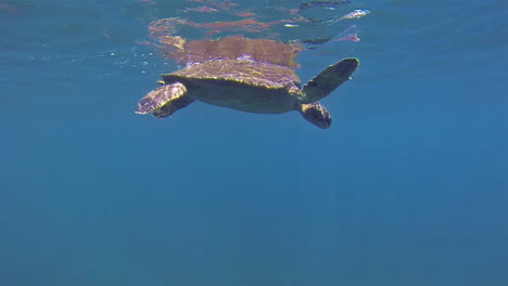 Beautiful-underwater-footage-of-a-sea-turtle-swimming-in-the-Galapagos-Islands-Ecuador-1