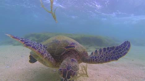 Beautiful-shot-of-a-sea-turtle-eating-seaweed-underwater