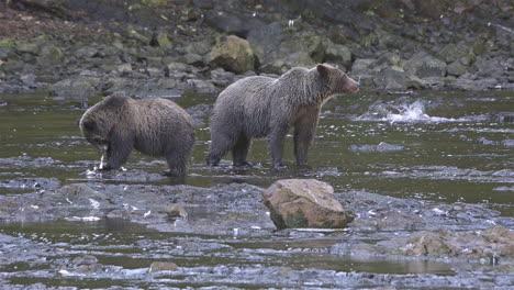 Alaskan-bear-and-cub-catch-salmon-in-a-river-in-Alaska