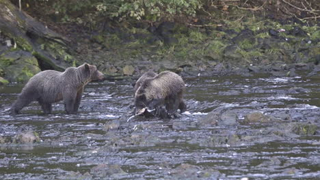 Alaskan-bear-and-cub-catch-salmon-in-a-river-in-Alaska-1