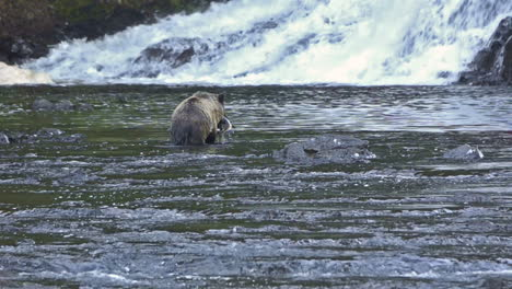 An-Alaskan-bear-catches-salmon-in-a-río-1