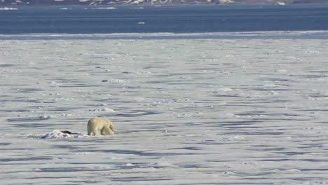 A-polar-bear-struggles-on-a-melting-ice-floe-due-to-the-effects-of-manmade-global-warming
