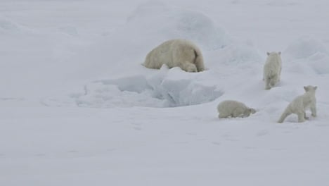 A-polar-bear-and-baby-cubs-struggle-in-on-an-ice-floe-as-global-warming-affects-sea-ice-levels