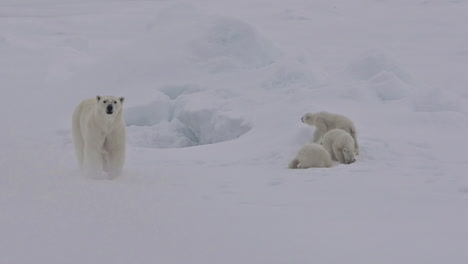 A-polar-bear-and-baby-cubs-struggle-in-on-an-ice-floe-as-global-warming-affects-sea-ice-levels-1