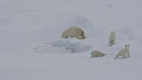 Ein-Eisbär-Und-Babybabys-Kämpfen-Auf-Einer-Eisscholle-Da-Die-Globale-Erwärmung-Den-Meereisspiegel-Beeinflusst-2