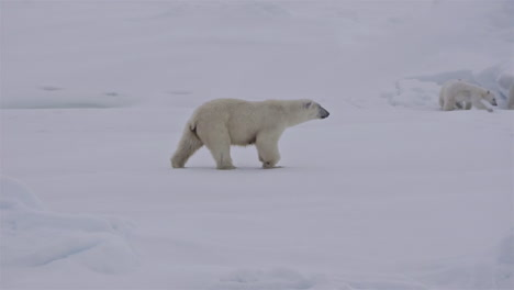 A-polar-bear-and-baby-cubs-struggle-in-on-an-ice-floe-as-global-warming-affects-sea-ice-levels-3